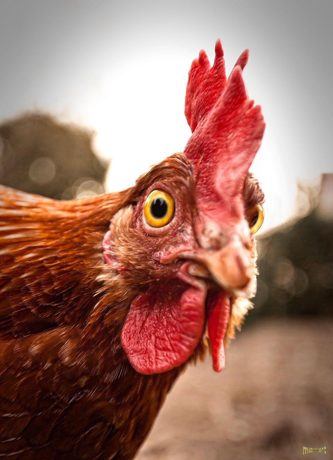 Как заработать в птицеводстве. Куры. Часть 2.